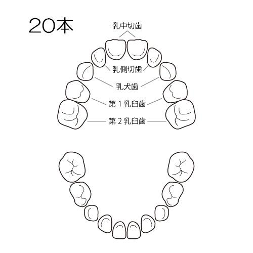 乳歯の名前と生える時期