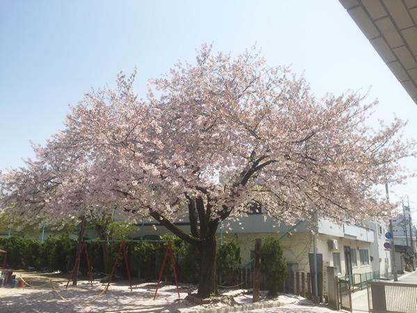 校庭の桜の写真
