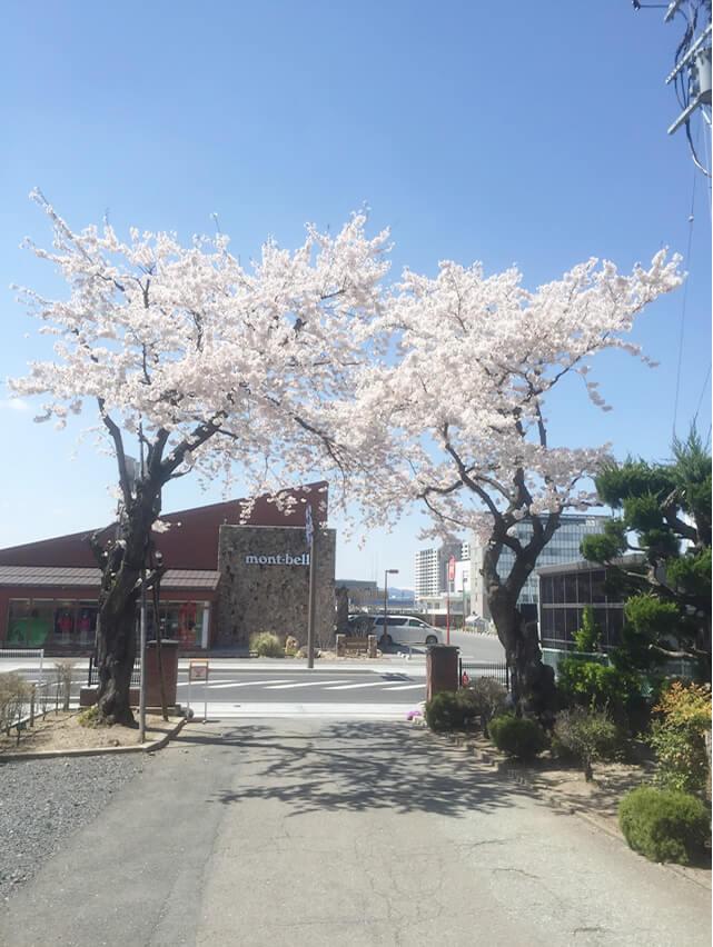 学校の正門に咲く桜の木