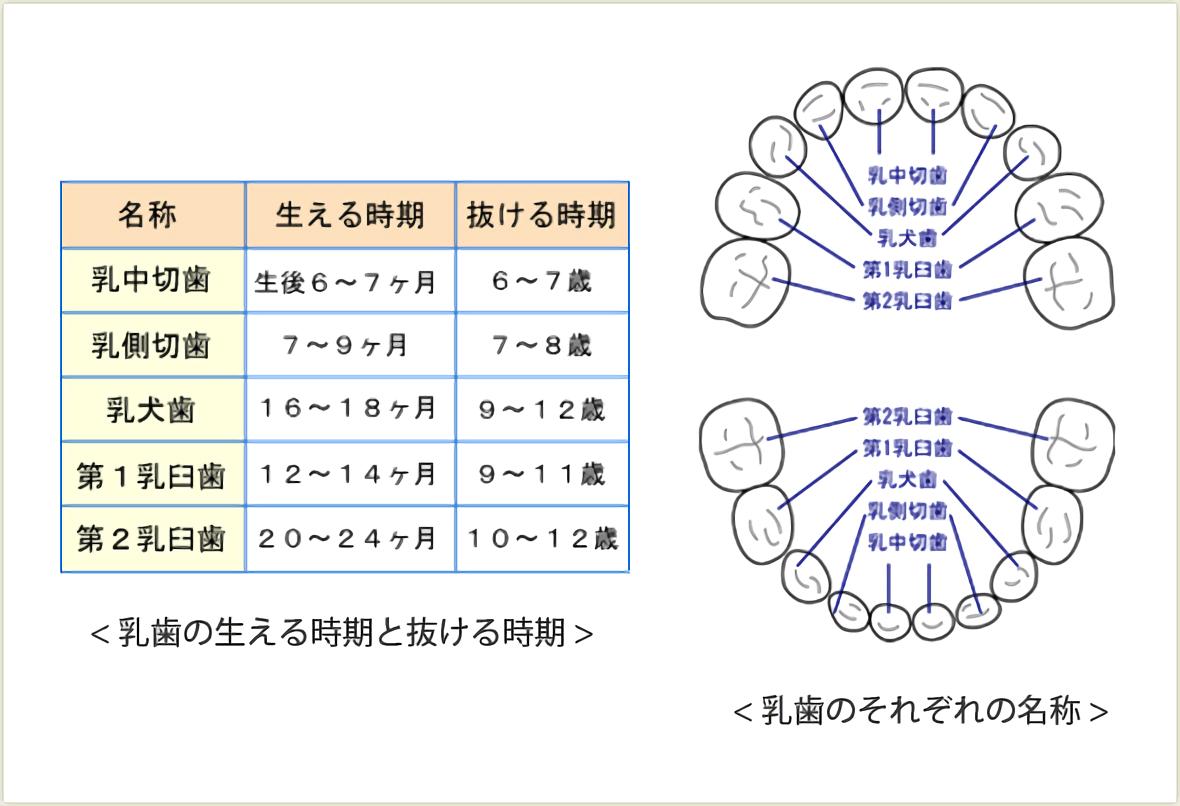 乳歯の生える時期と抜ける時期 - 乳歯のそれぞれの名称